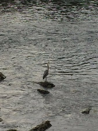 Sunny Rock Bed and Breakfast Minden: Harriet the Heron!