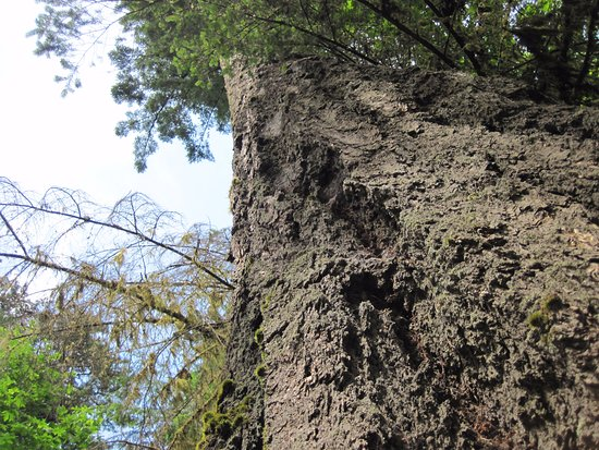 Port Alberni, Canadá: looking up giant tree