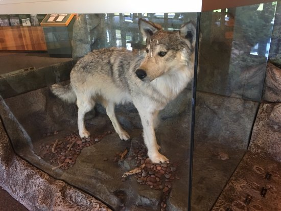 Two Harbors, MN: O lobo dentro do visitor center