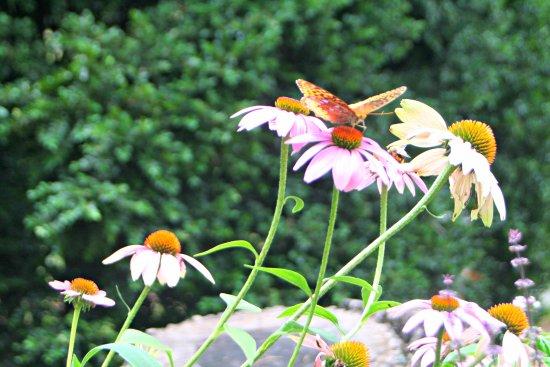 North Garden, VA: Butterfly enjoying the butterfly garden off the main porch of the Inn.