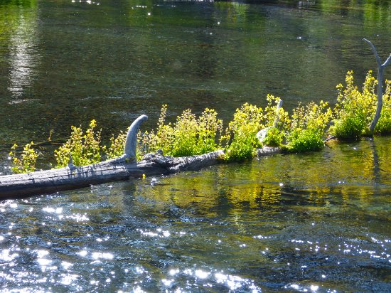 La Pine, OR: Wild flowers growing on logs on the river create gurgliing...nice
