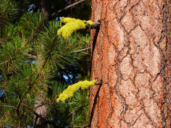 La Pine, OR: Lichen on ponderosa pines