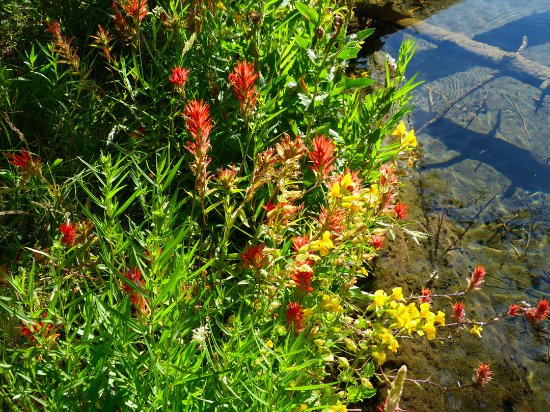 La Pine, OR: Indian paintbrush