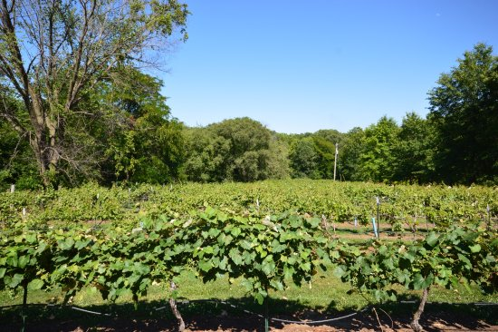 Excelsior Springs, Миссури: Front Vineyard