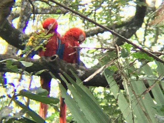 Playa Flamingo, Kosta Rika: Red Macaw RARE Birds