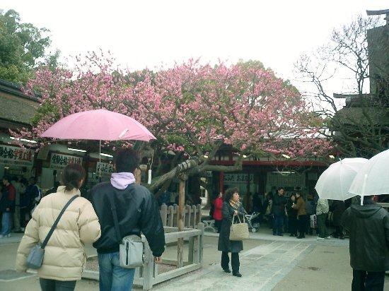 Dazaifu, Japan: 梅の花が満開の太宰府天満宮