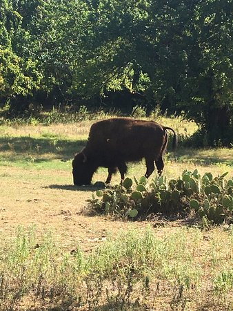 Chickasaw National Recreation Area: AMAZING Buffalo