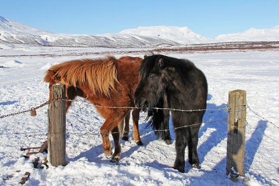 The Icelandic Horse Park Fakasel: Cute, odd and totally unique – the Icelandic horses @Reykjavik