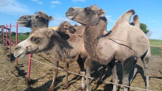 Republic of Tatarstan, รัสเซีย: вот они Казанские верблюды!
