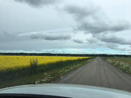 Vaasa, Finnland: Lintujen muuttoaikaan pelloille asettuu tuhansittain lintuja