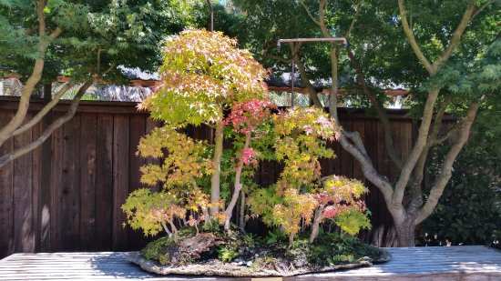 Japanese Maple Forest Bonsai Picture Of Gsbf Bonsai Garden At