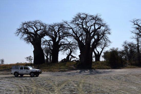 Planet Baobab: Nxai Pan NP Paine´s Baobab Gruppe