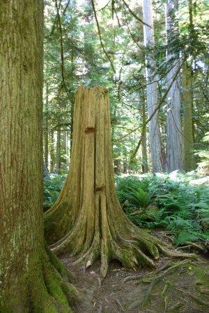 Port Alberni, Canada: Felled cedarwood