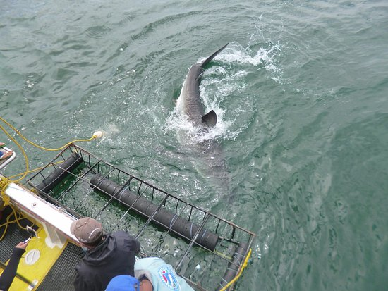 Gansbaai, África do Sul: Shark