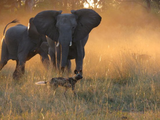Chitabe Lediba Camp: African wild dogs harrassing mother with tiny elephant baby and teenage daughter