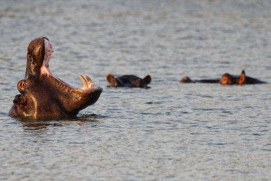 George, South Africa: Hippo a bit upset