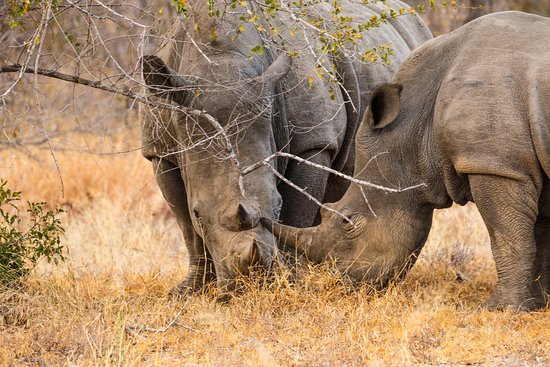 Klaserie Private Game Reserve, แอฟริกาใต้: tracking Rhinoceros and finding them perfect day