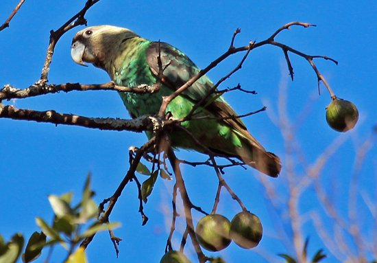 Bulwer, South Africa: Cape Parrot