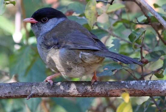 Bulwer, South Africa: Bush Blackcap