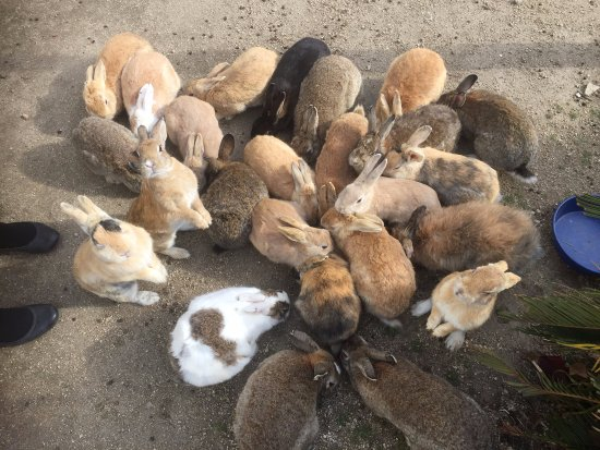 Takehara, Japonia: Okunoshima's rabbits waiting to be fed