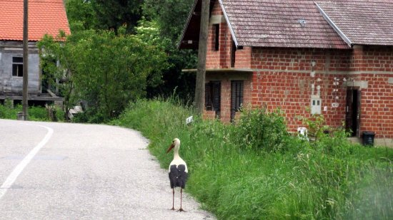 Kutina, Croatia: stork on the road