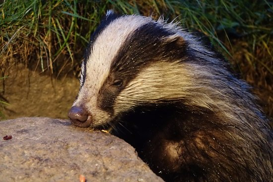 Aviemore, UK: Badgers love peanut butter