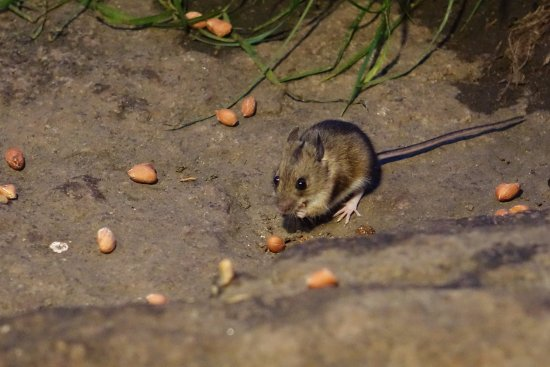 Aviemore, UK: Little Mouse