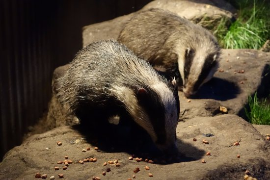 Aviemore, UK: Badgers eating peanuts and peanut butter