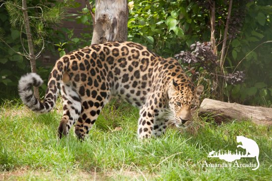 Smarden, UK: Male Amur Leopard on photo encounter at WHF