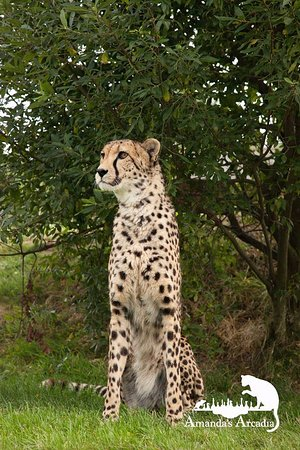 Smarden, UK: Male Cheetah on photo encounter at WHF