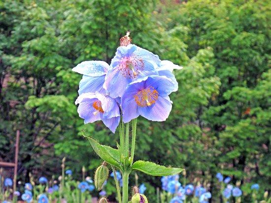 Blue Opium Poppy of Nakamura Farm