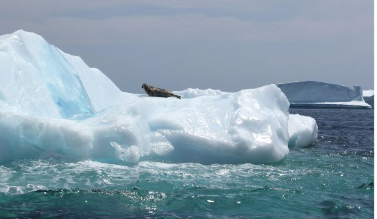 many icebergs come into Conche in the spring and summer; this one carries a passenger!