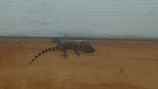 Motel 6 Dallas - Plano - Southeast: Gecko in the room