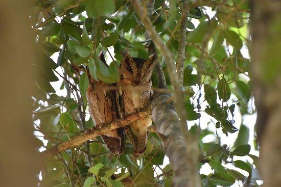 Uda Walawe National Park, Sri Lanka: Scops Owls at the entrance