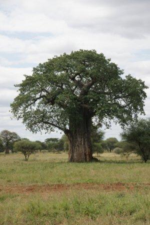 Tarangire National Park, Tanzanya: Eindrücklich Baobabs - im Juni in den Farben grün oder gelb oder bereits ohne Blätter zu besicht