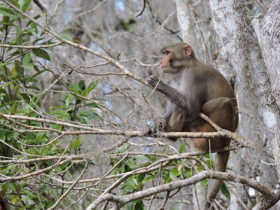 Wild monkeys seen from a kayak At Silver Springs State Park