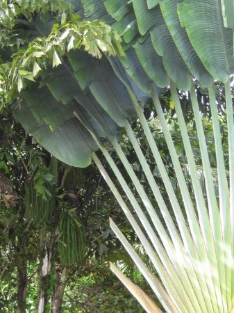 BlueBelize: Fan Palm
