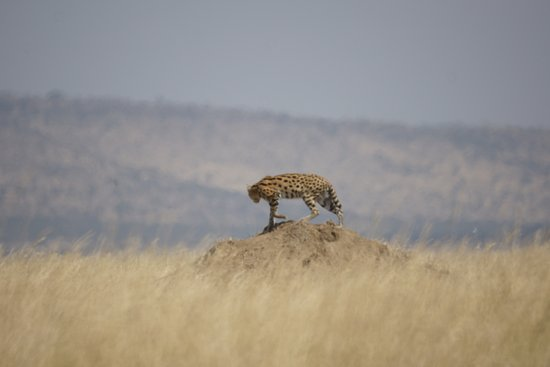 Arusha Region, Tanzania: Den Serval entdeckt man eher selten