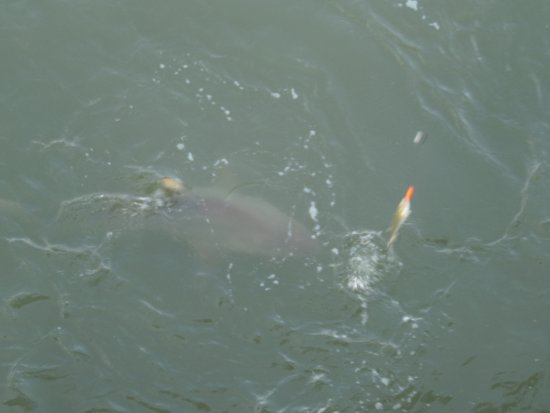 Shark picture of apache pier myrtle beach tripadvisor for Shark fishing myrtle beach