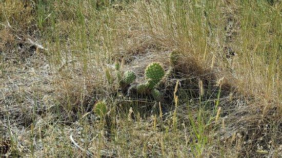 Billings, MT: A cactus along the trail
