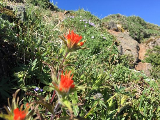 Philomath, OR: Indian paintbrush along the trail