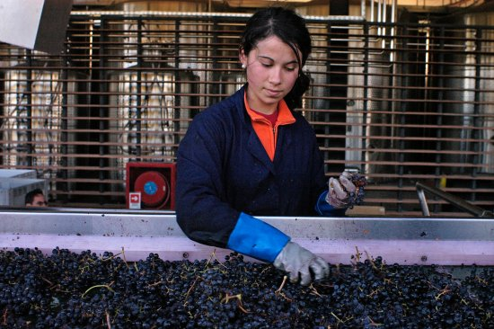 Santa Cruz, Chile: Selecting the best grapes for our wines