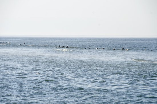 Truro, MA: A parade of seals more than a mile long swam past us on the beach.