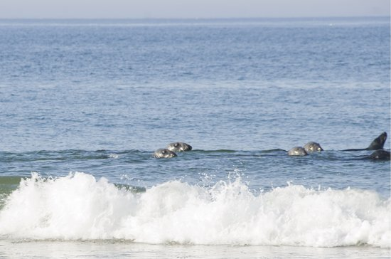 Truro, MA: It was fun watching the seals swim past Head of the Meadow Beach.