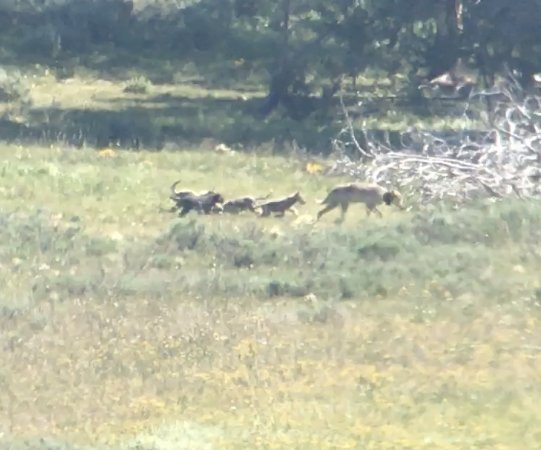 Gardiner, Μοντάνα: Wolf and pups at Yellowstone (video screen shot)