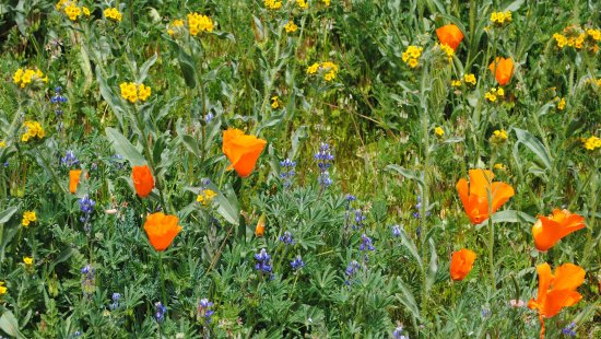 Antelope Valley California Poppy Reserve: Mixed flowers.... not just poppies.