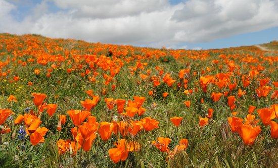 Antelope Valley California Poppy Reserve: Yes, anlother poppy photo. :)