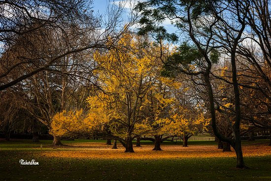 Cornwall Park : The last of the Ginko species, plenty other trees for your enjoyment too.