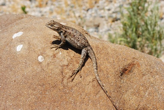 Newhall, CA: Plump Western fence lizard basking on a boulder.