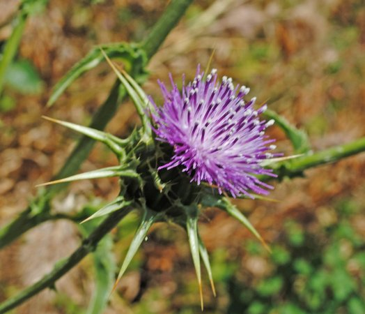 Newhall, CA: After the fire, a big crop of purple thistles sprang up, too.